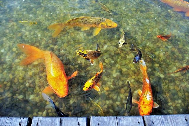 oranžové ryby v jazierku.jpg